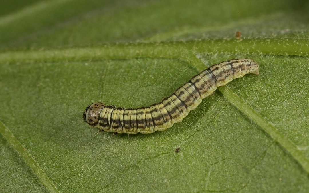 Be on the Lookout for Armyworms