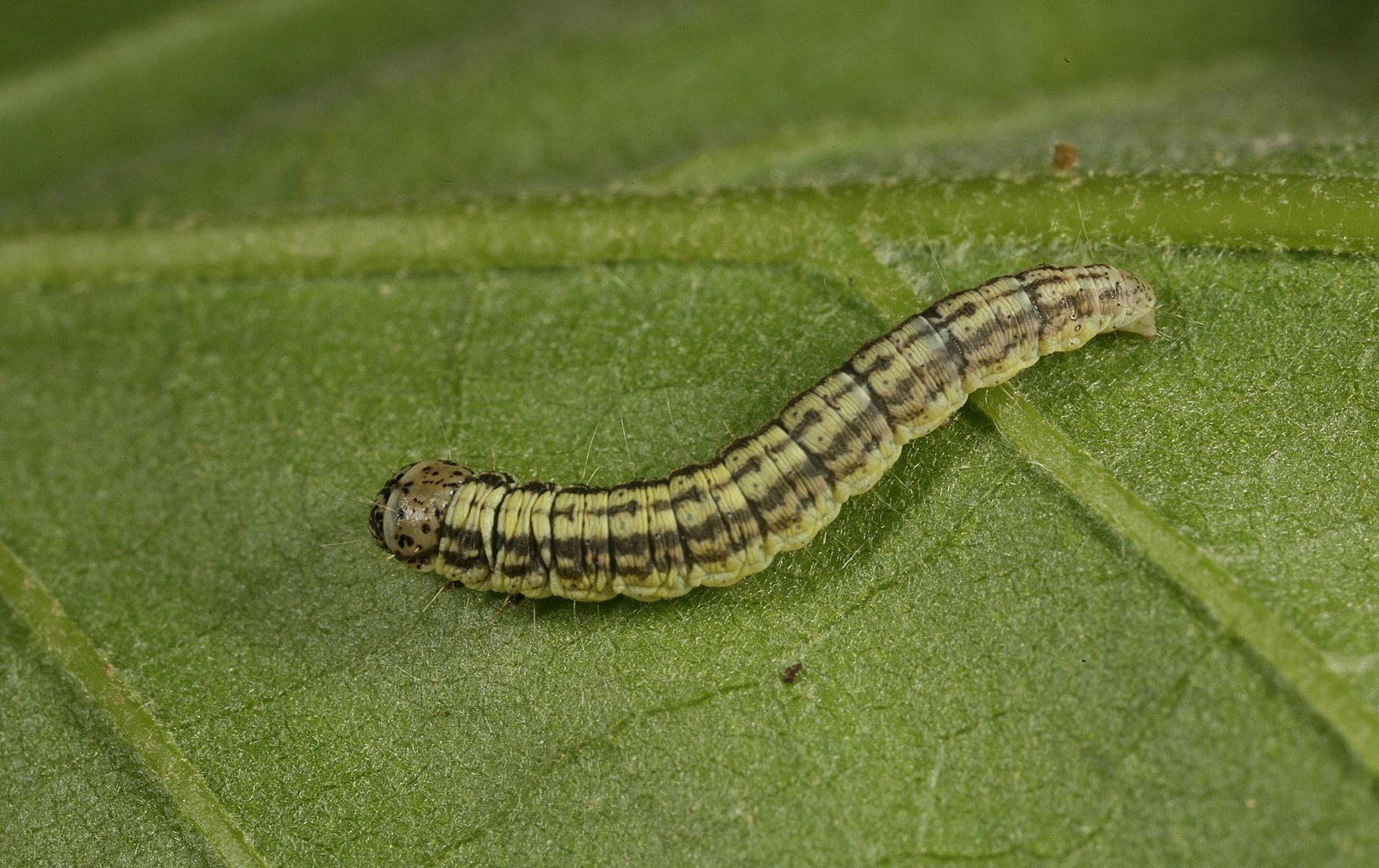 armyworm